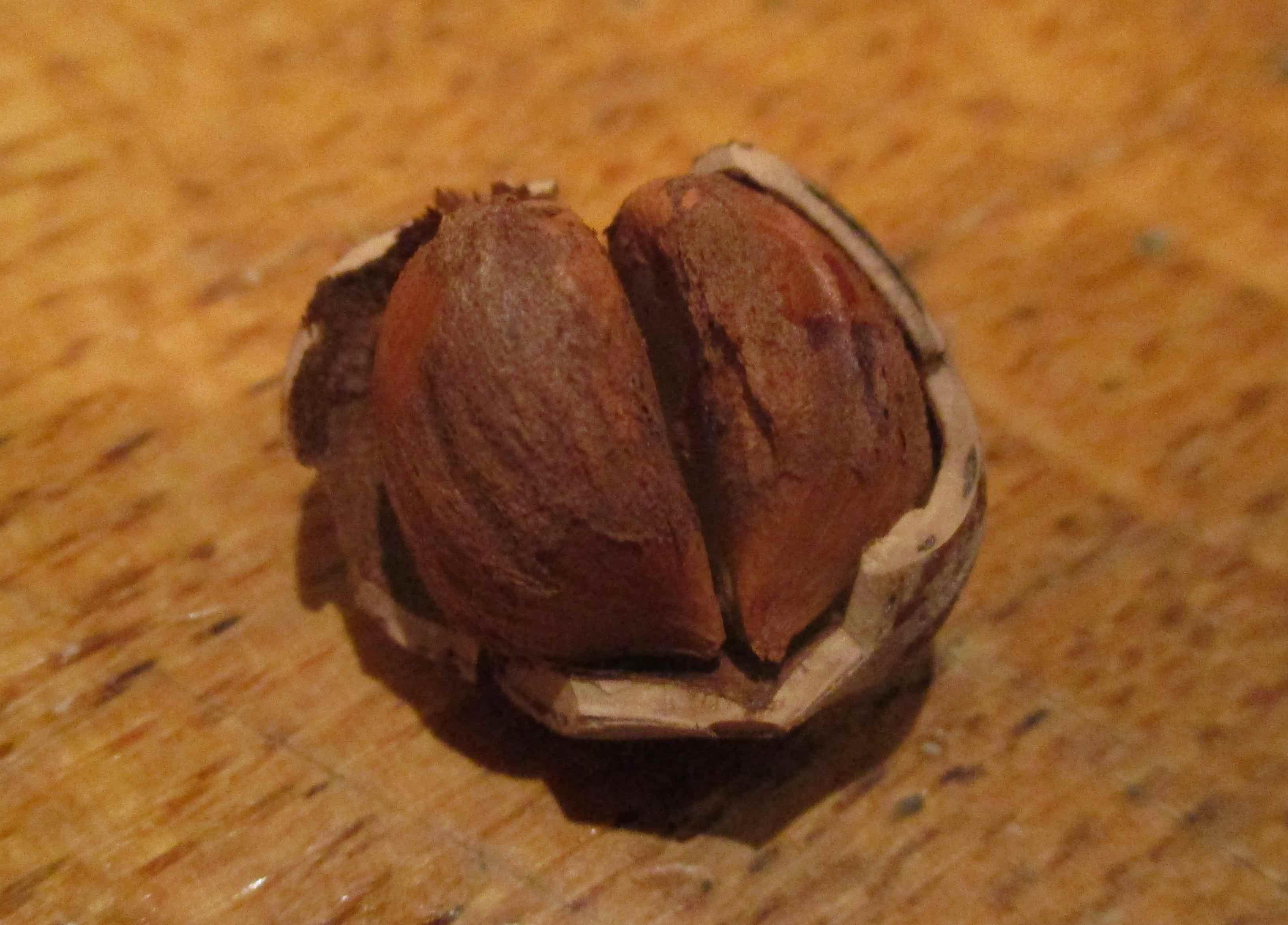 philippine noisette